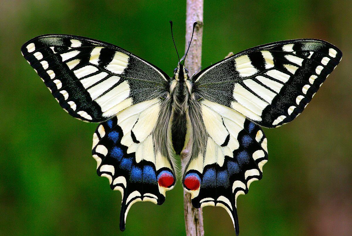 PapilioMachaon2016_001